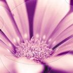 Kapkörbchen violett